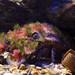grande cigale de mer