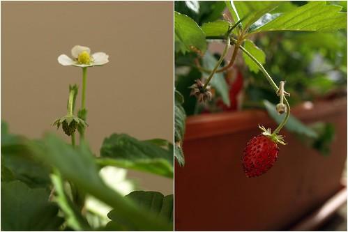 La vie d'une fraise