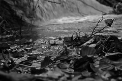 wet leaves (matupict) Tags: wood roses bw france leaves waterfall fiume h2o luberon pioggia legno cascata menerbes sorgue