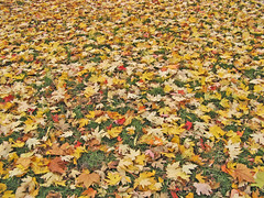 Carpet of leaves (suvodeb) Tags: park uk autumn england colour tree london fall leaves yellow carpet golden persian flora branch unitedkingdom multicoloured hyde vegetation layer hydepark multicolored autumnal