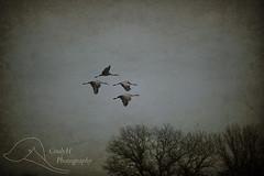 Landing (WxMom) Tags: bird birds wisconsin crane cranes sandhill sandhillcranes sandhillcrane sandhills iowacounty