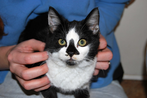 A black and white kitten, about four months old, looks directly into the camera against a backdrop of fuzzy blue pajamas.  The kitten has a triangular black marking over its nose that makes it look startlingly like a skull mask.