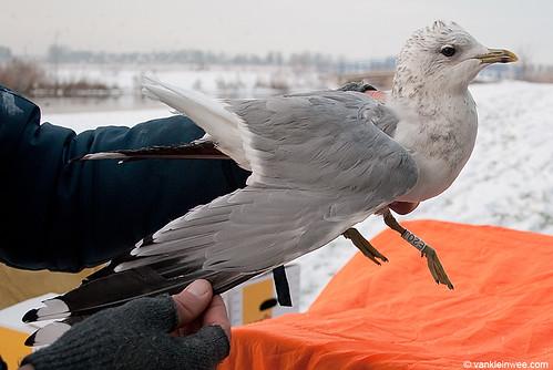 Common Gull, 3cy, W[E20J]