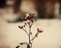 winter romance (MarianneLoMonaco) Tags: pink winter roses snow nature photography dof bokeh magic marianne lomonaco