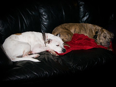 Pit Bull Sofa (Michael R Hayes) Tags: rescue dog mix ast northcarolina pitbull brindle k9 amstaff pittsboro apbt dogrescue americanstaffordshireterrier americanpitbullterrier bluefawnbrindle