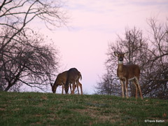 Keeping Watch (TnOlyShooter) Tags: rural evening countryside feeding tennessee olympus doe deer herd zuiko animalplanet grazing maury zd fantasticnature e520 40150f3545 travisbatton tnolyshooter
