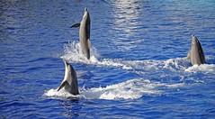 dauphins (AO-photos) Tags: blue valencia spain nikon espana dolphins espagne valence dauphins d5000