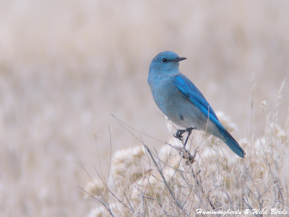 Mountain Bluebird 12101-4