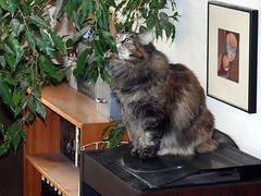 Maxine and the Fig Tree (Glenn Harris (Clintriter)) Tags: pets tree cute green art cat fig tortoiseshell bookshelf turntable tortie maxine cc100 catnipaddicts