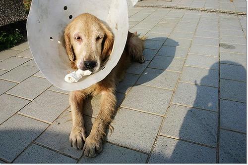 「只剩奇蹟」新屋收容所B13的黃金獵犬小姐~被棄養挨了一刀又被無情取消~只能延到17號,您願意給他一個機會嗎?20101214