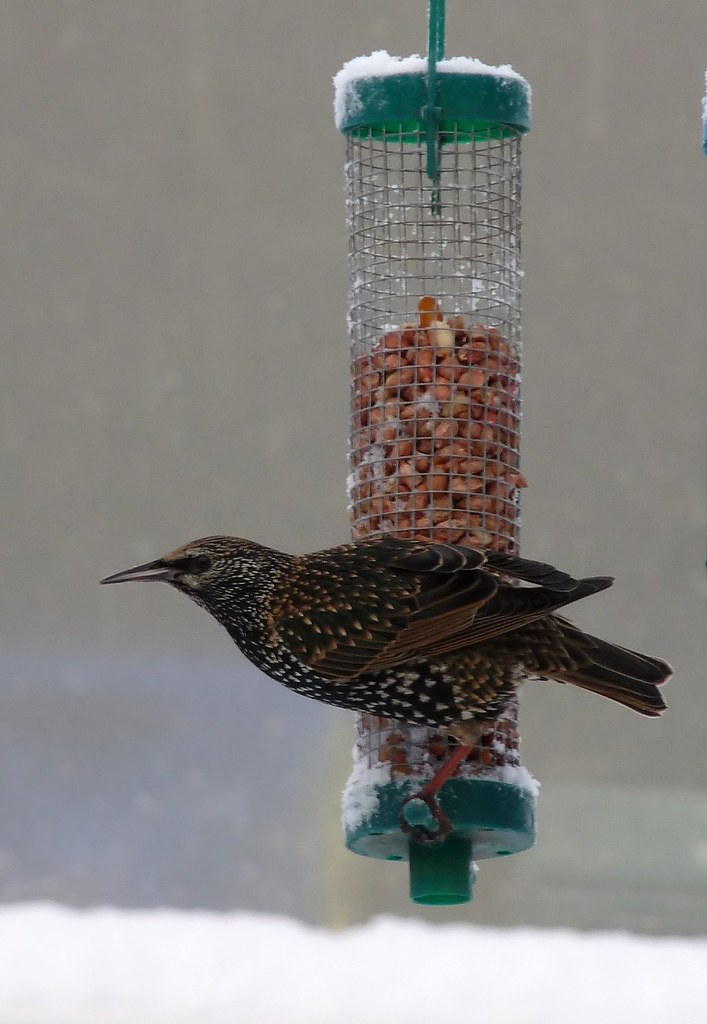 23745 - Starling, Pontarddulais
