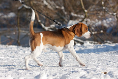 Walking with Maartin. Winter (PKirillov) Tags: winter dog snow holland beagle walking rotterdam maartin bergschebos