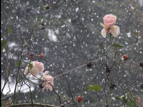 neve e rosa