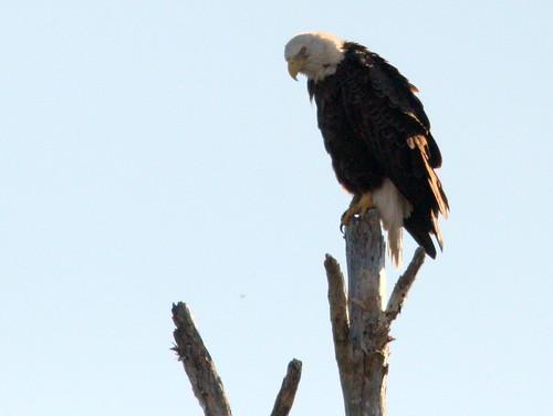 Bald Eagle 20101221