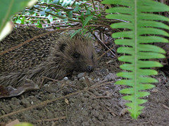 Hedgehog (russelljsmith) Tags: newzealand brown plant cute green garden sand rat nz hedgehog napier hawkesbay 2010 77285mm tametea