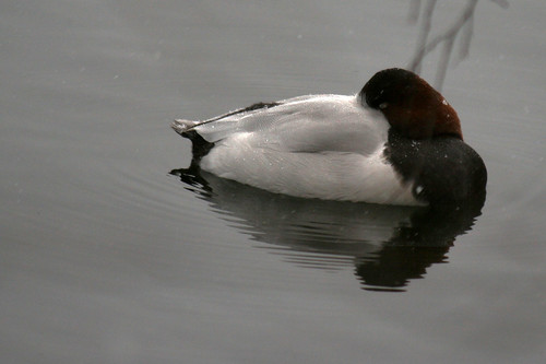 ducks 071