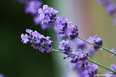 Photo de fleurs de Lavande bleu en gros plan. (combraille) Tags: flower macro fleur fleurs lavande lavandula fleurbleu lavandebleu macrodefleur fleurdelavande mygearandmepremium macrolavande