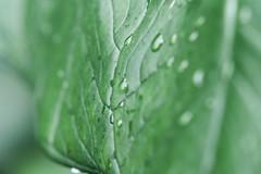 Drinking (Nicolas Pavlidis) Tags: green leaf drops grn blatt tropfen