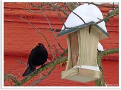 Amselmann Kurti und das Vogelhäuschen - Blackbird Kurti and the bird box (2)