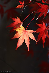Untitled (Dalang55555) Tags: winter red leaf maple   localpark notautumn slightlycroppedsooc