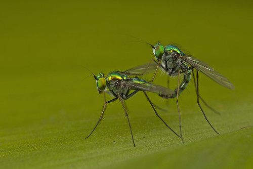 ... Long-Legged Fly mating ...