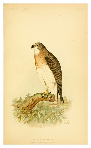 021-Gavilán de Swainson- The hawks and owls of the United States..1893- Albert Kenrick Fisher