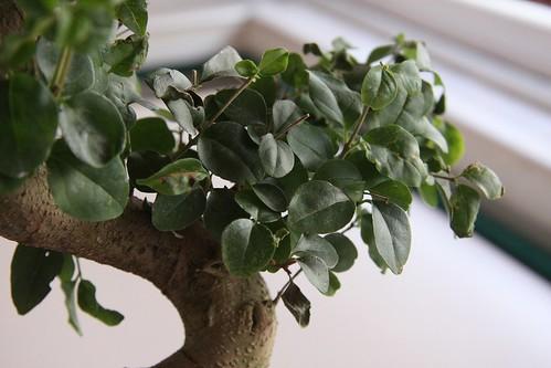 bonsai03