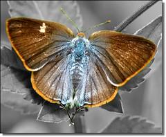 Descolorindo pouco a pouco... (srie especial, para pensar...) (Marina Linhares) Tags: natureza vida top20butterflymoth mygearandmepremium ringexcellence dblringexcellence