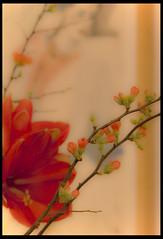 Romance (Jack Poels) Tags: flowers painting niceshot schilderij romance bloemen flickraward fotoclubvenray jackpoels flickrbronzetrophy