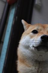 谷中 脇道の犬