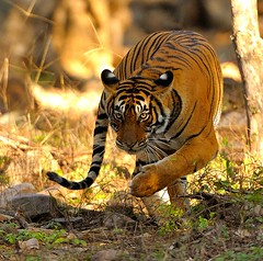 Kung Fu Tiger (John Kok) Tags: india bravo tiger ranthambore ranthambhore pantheratigris pantheratigristigris royalbengaltiger december2010 allnaturesparadise sherbaghranthambhore tigresst39