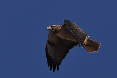 Sometimes You Soar; Sometimes You Gotta Flap Your Wings (fromky) Tags: bird flying wings hawk flight bluesky cropped sharpened flickrsbest dsc2480