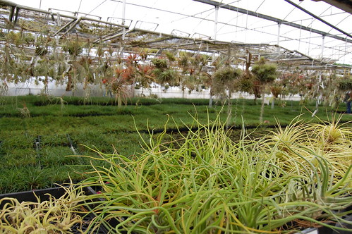 Tillandsias galore.