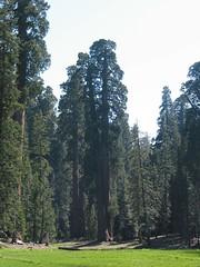 098 big Trees Trail (Jan Dunzweiler) Tags: jan sequoia bigtreestrail dunzweiler mammutbaumsequoianationalparkcaliforniakalifornienusasüdwestensouthwest jandunzweiler