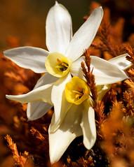 vicini vicini? (ROSSANA76 Getty Images Contributor) Tags: natura giallo fiore inverno petali bianco arancio luce narciso marrone secco cespuglio stami
