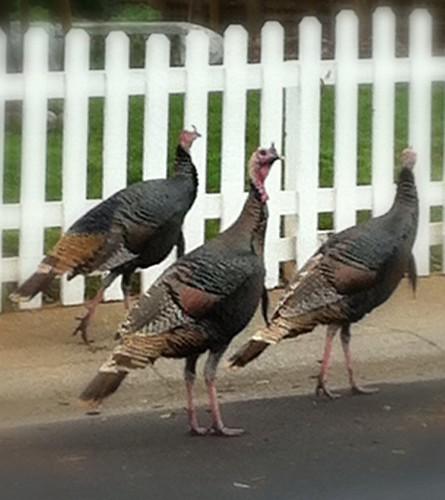 365 Day Project: Turkeys in Folsom 8/365