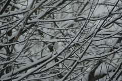 snowy branches. (ksk photography) Tags: trees winter snow cold branches covered