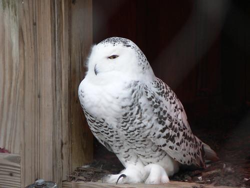 Snowing owl