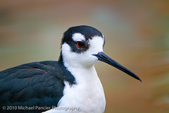 Portrait of a Stilt (Michael Pancier Photography) Tags: tampa tampabay florida buschgardens zoos commercialphotography naturephotographer michaelpancierphotography avianphotography landscapephotographer fineartphotographer floridaamusementparks michaelapancier wwwmichaelpancierphotographycom