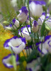 Eustoma Echo Blue soft & delicated flower dedicated to all my friends