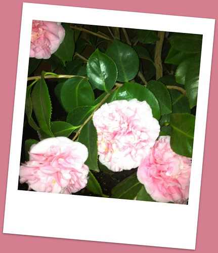 365 Day Project: Pink Camelias 14/365
