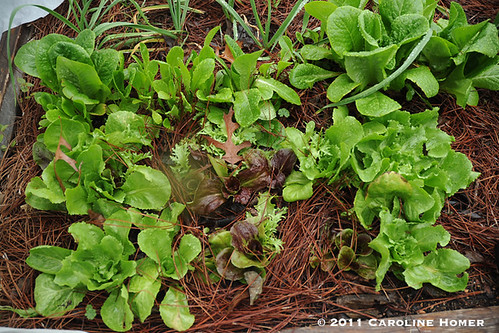 Mesclun mix, romaine, garlic