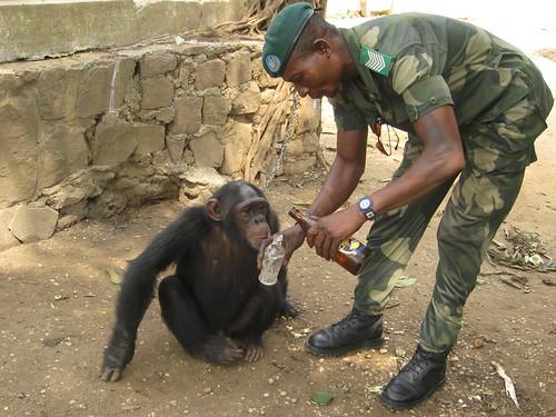 "bonobo ""friend"" on a chain"