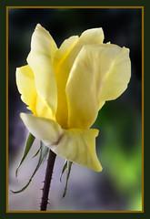 IMG_4578 Rose 10 (jaro-es) Tags: flowers portrait espaa flower macro nature canon garden spain flora natur flor jardin natura blume makro garten spanien floras abigfave spanelsko naturewatcher mimamorflowers eos450 floraespaa onlythebestofnature
