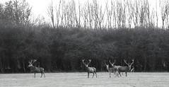 oh my deer.. (Vlien*) Tags: blackandwhite bw holland nature forest wildlife deer flevoland edelhert dutchwildlife oostvaarderspassen