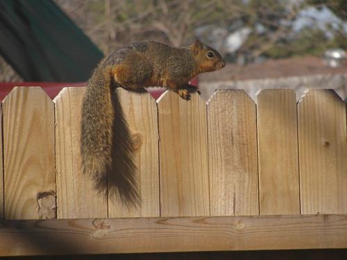 Squirrel Olympics Contestant