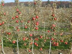 Braeburn/B.9 rootstock
