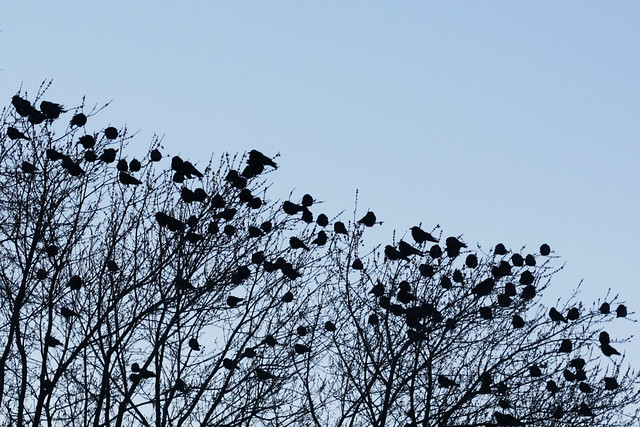 Day 143 - Crows in a Tree