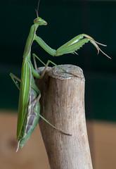 Mantis religiosa 4 (Jeaunse23) Tags: mantis preyingmantis mantisreligiosa macro insects france