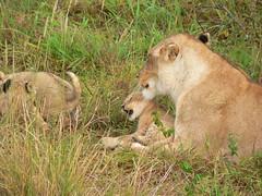Lions in the Mara ! (Mara 1) Tags: africa kenya masai mara wildlife animals lions babies mother green grass outdoors